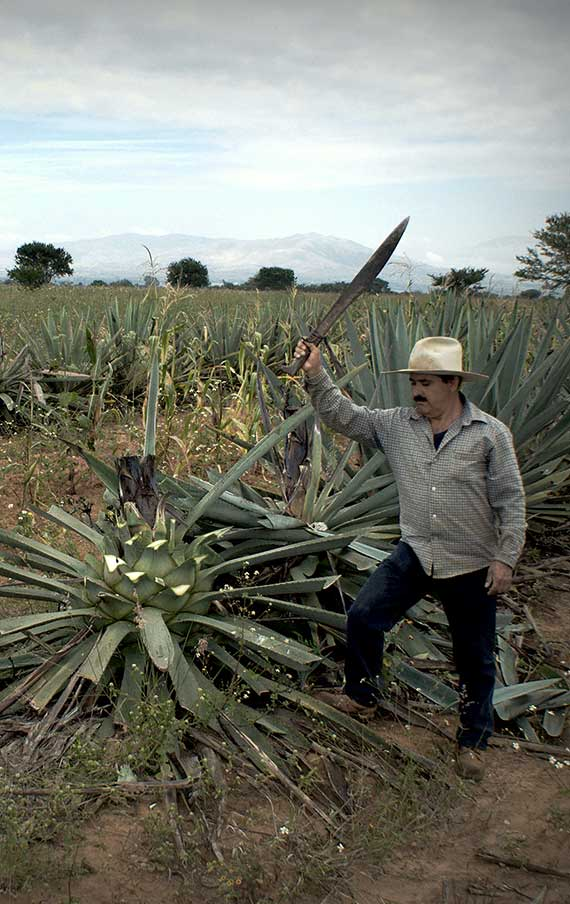 The Jima of the big agave espadines in Tier´s production