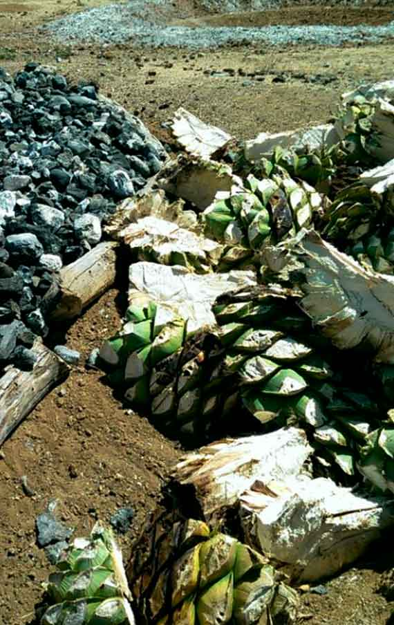 The big agaves for the mezcal Tier production
