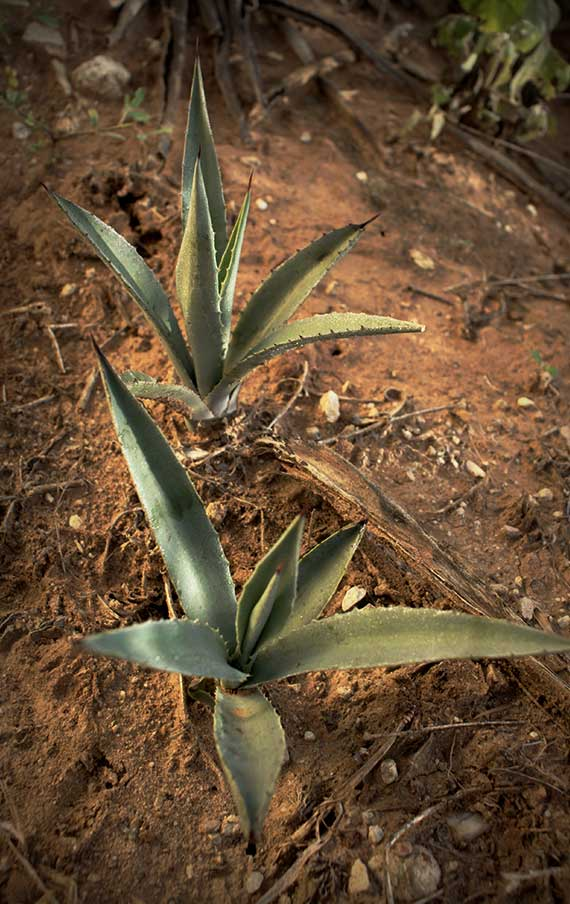 The cultivation of the agaves