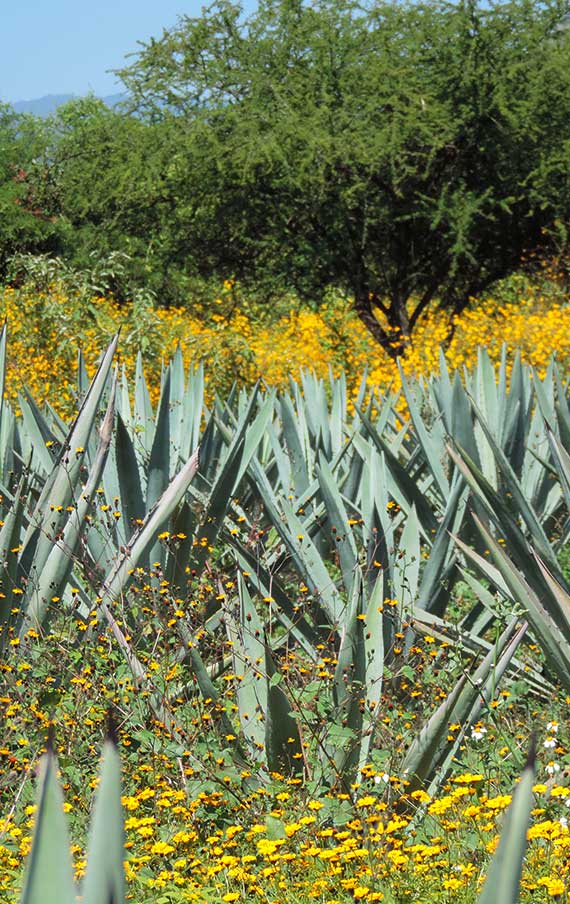 The Agave fields with the wild yellow flowers