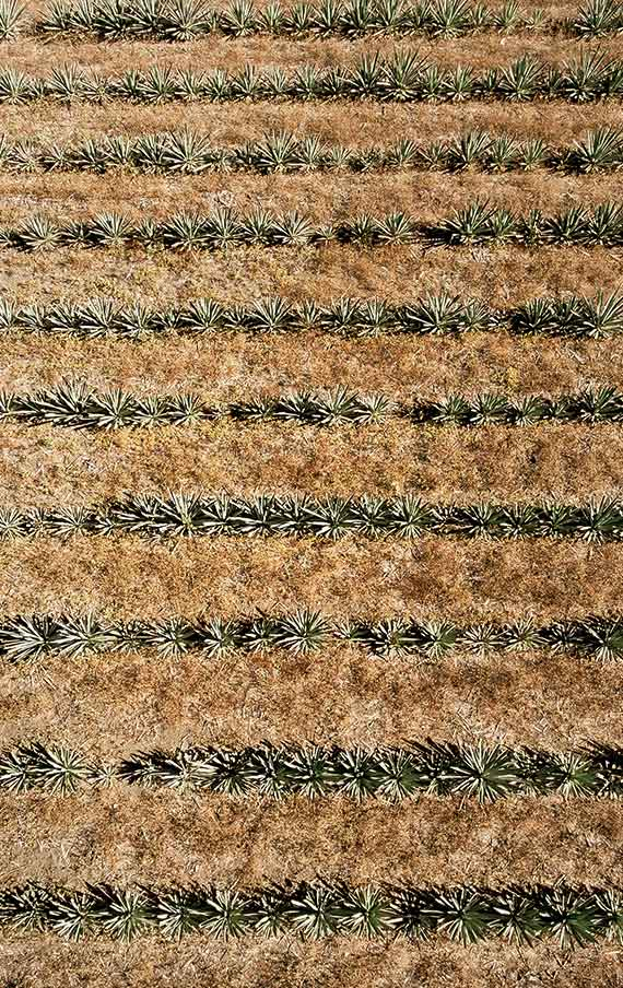 The cultivates organic agaves in the Montelobos fields