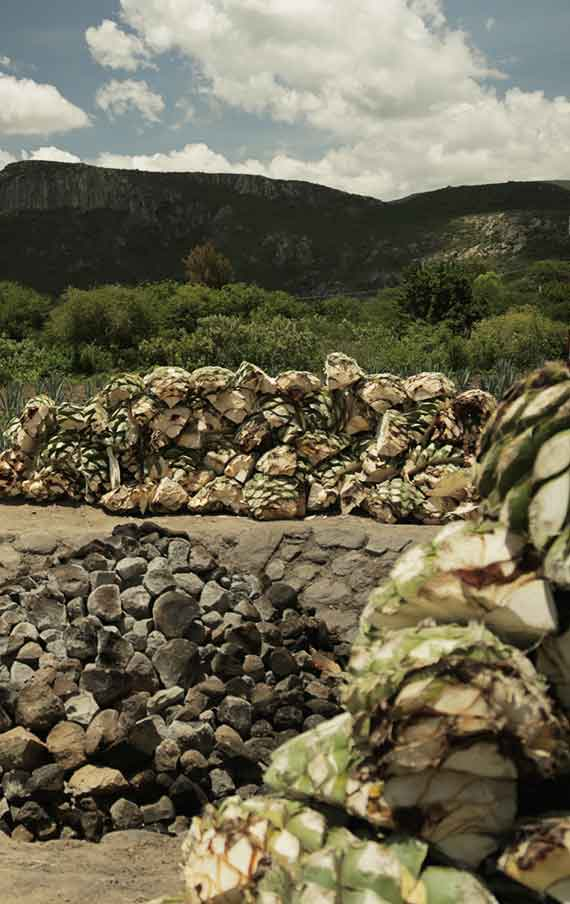 The agaves ready to be cooked