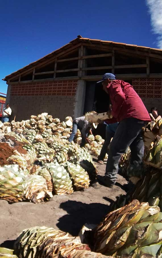 The selection of the agaves espadines