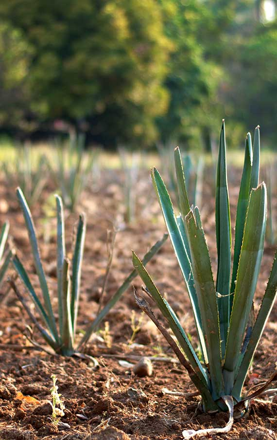 Fortaleza cultivated agaves