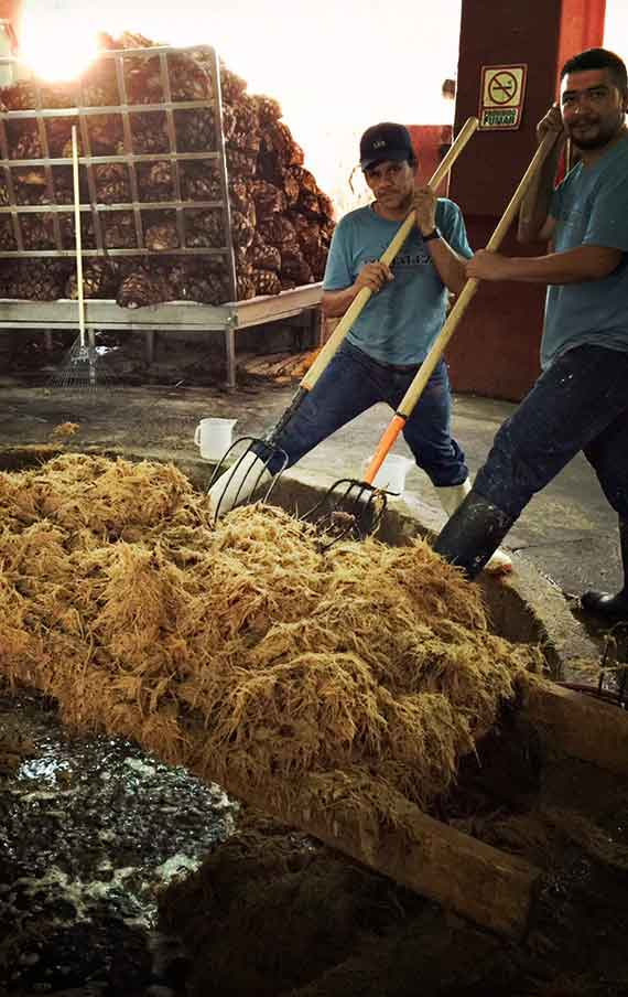 Washing the fiber of the agave