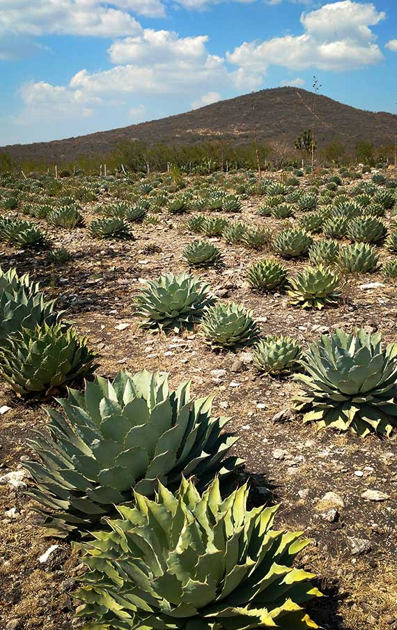 The Montelobos fields with agave Tobala