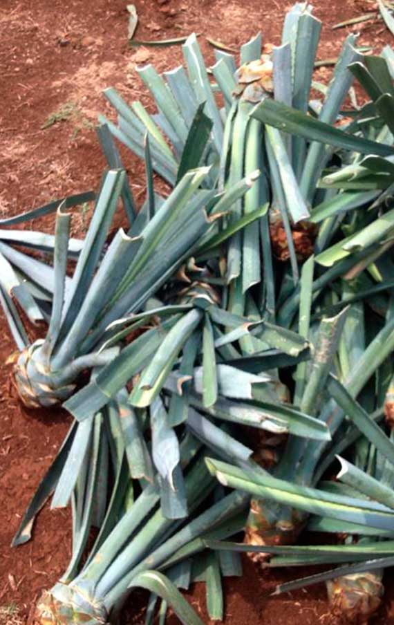 The strought agaves in Tequila Arette