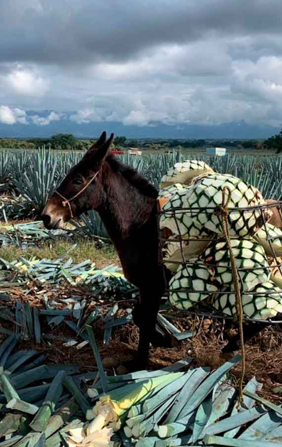 The hard work of the donkey at the fields