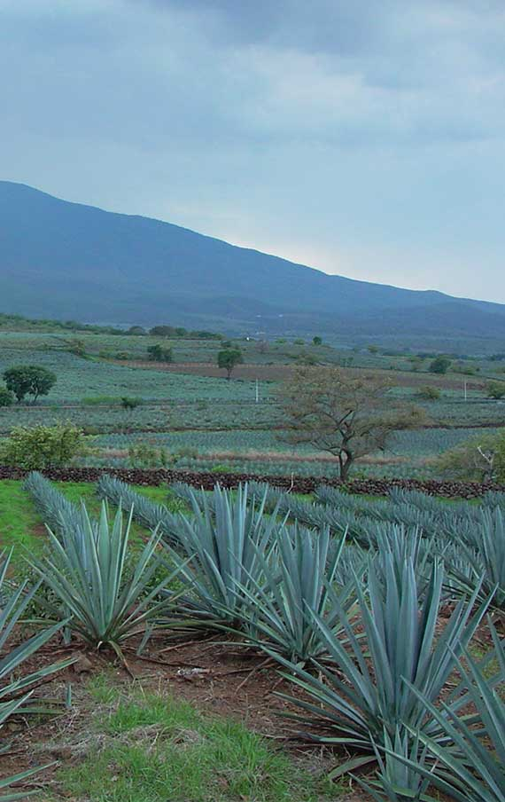 The Fields in El Llano Distillery