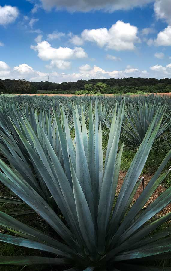 Organic Agave Fields